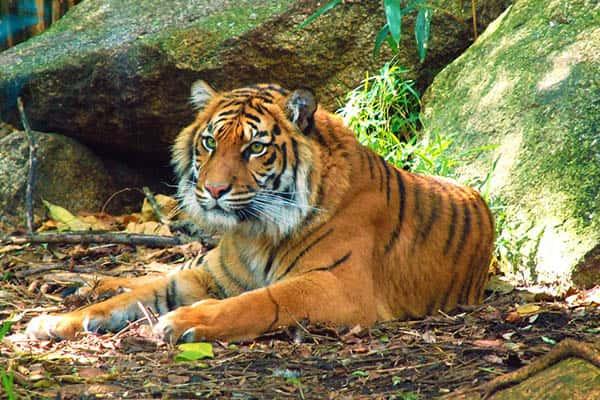 cuanto-viven-tigres